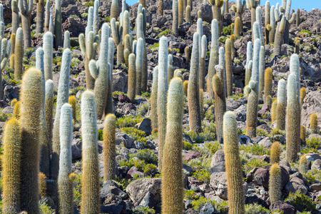 bolivia: Cactus in Bolivia Stock Photo