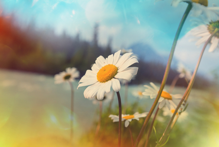 Chamomile meadow in summer time
