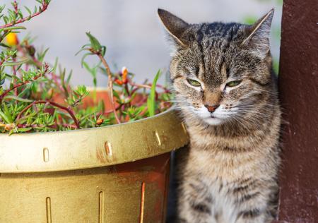Tabby Cat, close up shot