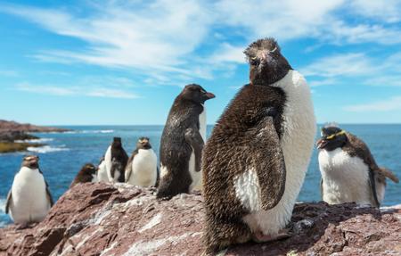 forelock: Rockhopper penguins in Southern Argentina