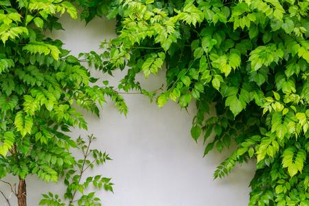 벽에 녹색 나뭇잎