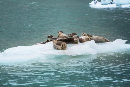 sellos: Seal Harbor en Alaska, EE.UU. Foto de archivo