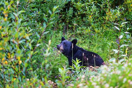 animales del bosque: oso negro en el bosque Foto de archivo