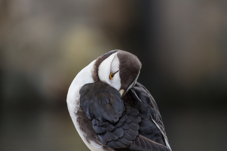 corniculata: Horned Puffin (Fratercula corniculata), close up shot Stock Photo