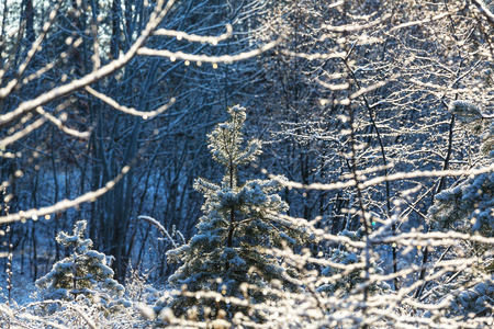 pines: Picturesque snow-covered forest in the winter Stock Photo