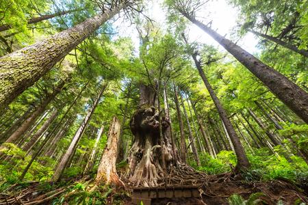 hemlock: la selva tropical en la isla de Vancouver, Columbia Británica, Canadá