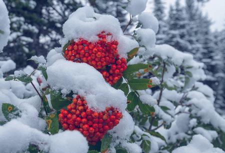 eberesche: Red frozen rowan berries Lizenzfreie Bilder