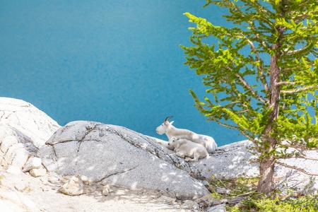 Wild Mountain Goat in Cascade mountains Stock Photo
