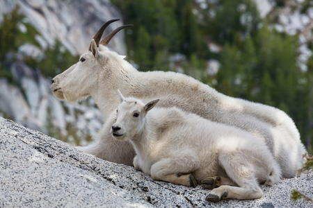 Wild Mountain Goat in Cascade mountains Stock Photo