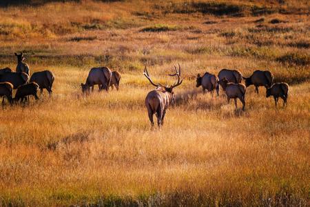 rocky mountain national park: Wild elks grazing on a meadow in the Rocky Mountain National Park, Colorado, USA Stock Photo