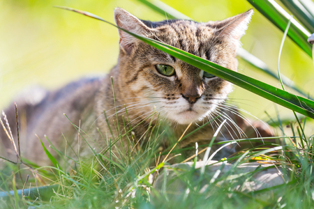 Close-up shot of the pretty tabby cat in the green grass.
