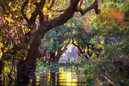 flooded: Flooded trees in mangrove rain forest. Kampong Phluk village. Cambodia