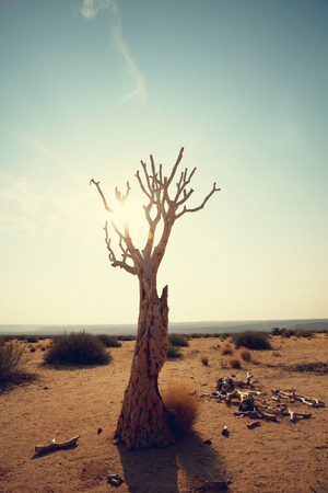 quiver: Quiver tree in african desert. Namibia, Africa