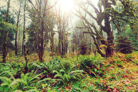 olympic: Fabulous rain forest in Olympic National Park, Washington, USA. Trees covered with thick layer of moss.