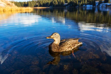 color image mallard duck: Amazing mallard duck on mountains lake