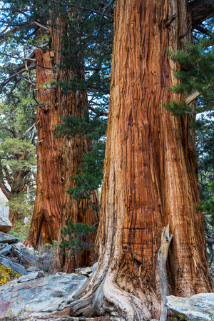 sequoia trees in Sierra Nevada mountains,California Stock Photo
