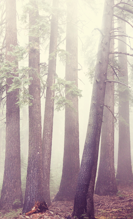 woodland  horror: Magic misty forest in the morning