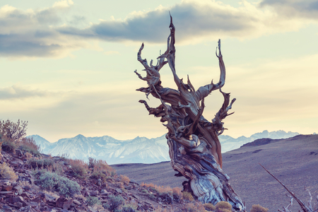 bristlecone: Ancient Bristlecone Pine Tree showing the twisted and gnarled features.California,USA.