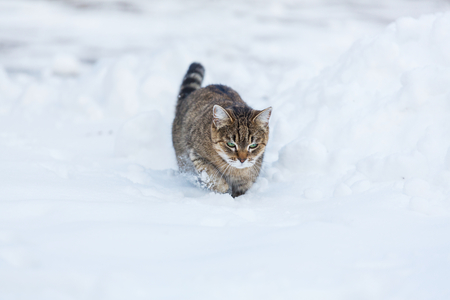 snowdrifts: Cat out in the snow in winter season