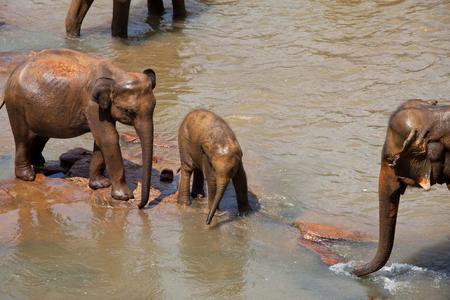 wild asia: Elephants  on Sri Lanka Stock Photo