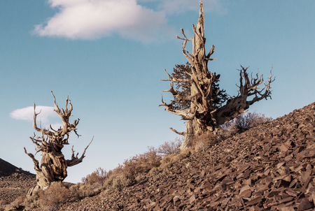 sierras: Ancient Bristlecone Pine Tree showing the twisted and gnarled features.California,USA.