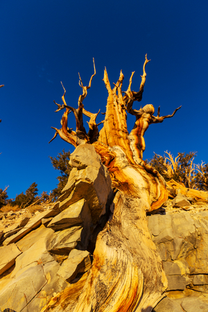 Ancient Bristlecone Pine Tree showing the twisted and gnarled features Stock Photo