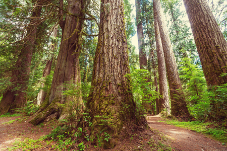 Fabulous rain forest in Olympic National Park, Washington, USA. Trees covered with thick layer of moss.