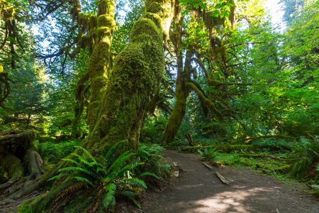 olympic national park: Fabulous rain forest in Olympic National Park, Washington, USA. Trees covered with thick layer of moss.