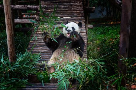 wild asia: Pretty Giant Panda