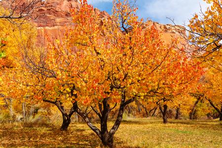 field maple: Orange autumn garden