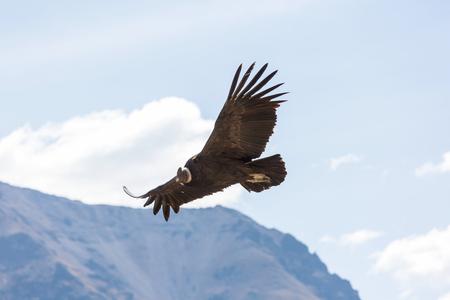 Flying condor in the Colca canyon,Peru Stock Photo