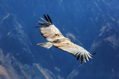 Vliegende condor in de Colca canyon, Peru