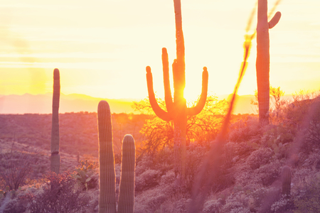 joshua: Saguaro National Park