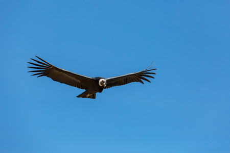 Flying condor in the Colca canyon,Peru Stock Photo