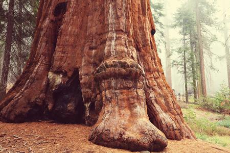 sequoia trees in Sierra Nevada mountains,California Stock Photo