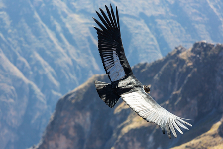 Flying condor in the Colca canyon,Peru 写真素材
