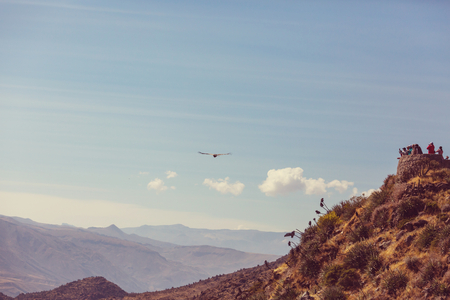 wing span: Flying condor in the Colca canyon,Peru Stock Photo