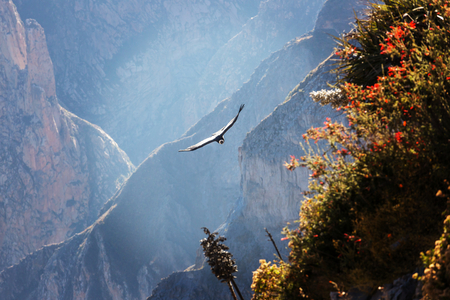 Flying condor in the Colca canyon,Peru Imagens
