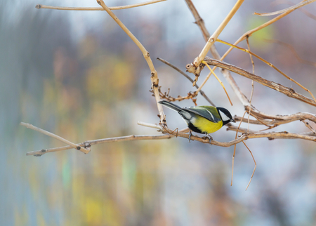 Greater titmouse bird sitting on a seed-can. Stock Photo