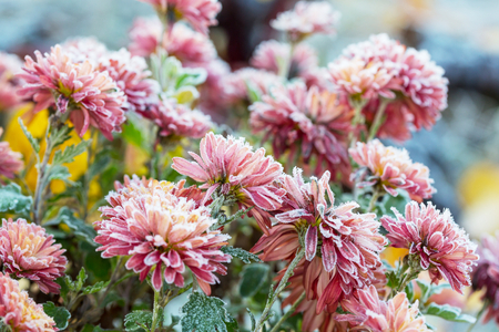 Beautiful pink frozen flower late autumn in morning Stock Photo