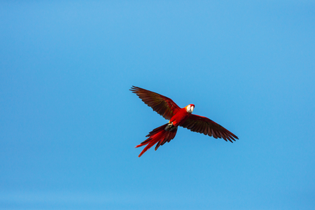 Green-winged Macaw Ara in the wild, Costa Rica, Central America Stock Photo