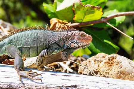 Wild green iguana in Costa Rica Stock Photo