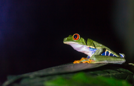 red-eye frog Agalychnis callidryas in Costa Rica, Central America Stock Photo