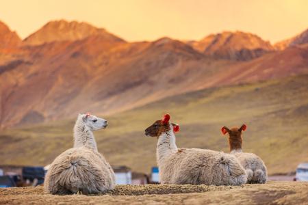 Lama in afgelegen gebied van Argentinië