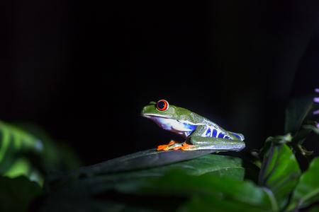 red-eye frog Agalychnis callidryas in Costa Rica, Central America Stock Photo
