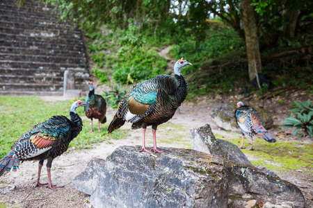 Wild Ocellated turkey in Tikal National Park, Gutemala. South America. Stockfoto - 102405256