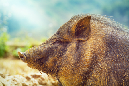 vietnam pigs in the green field Stock Photo