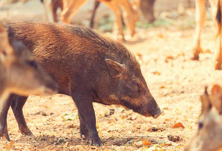 Beautiful little pig. Wild boar.