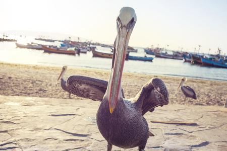 Big Pelican on the sea shore Stock Photo