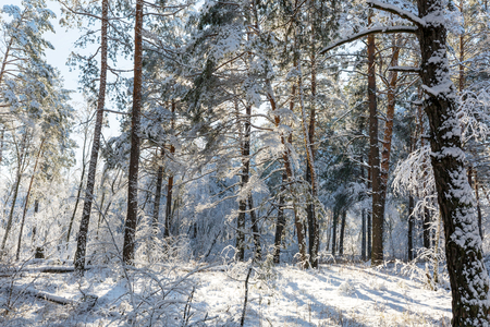Picturesque snow-covered forest in the winter Stock Photo